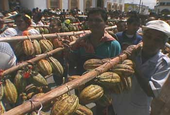 Cacao Beans Carried on Poles